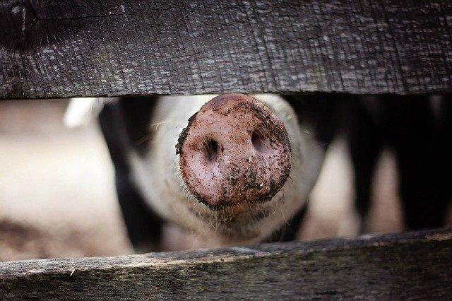 Primer Mandamiento – no seas un cerdo EGOÍSTA